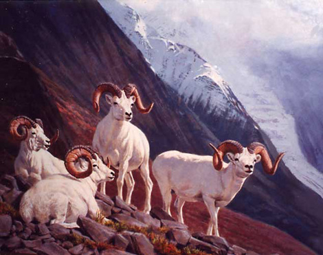 Dall Rams on South Slope by Tom Beecham - Fine Art Print Available