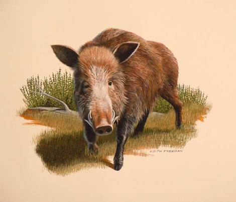Wild Boar by Keith Freeman