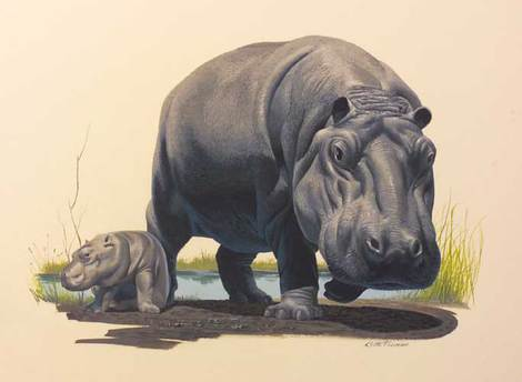Hippopotamus by Keith Freeman